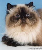 The Himalayan Cat Breed