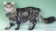 The Norwegian Forest Cat Breed