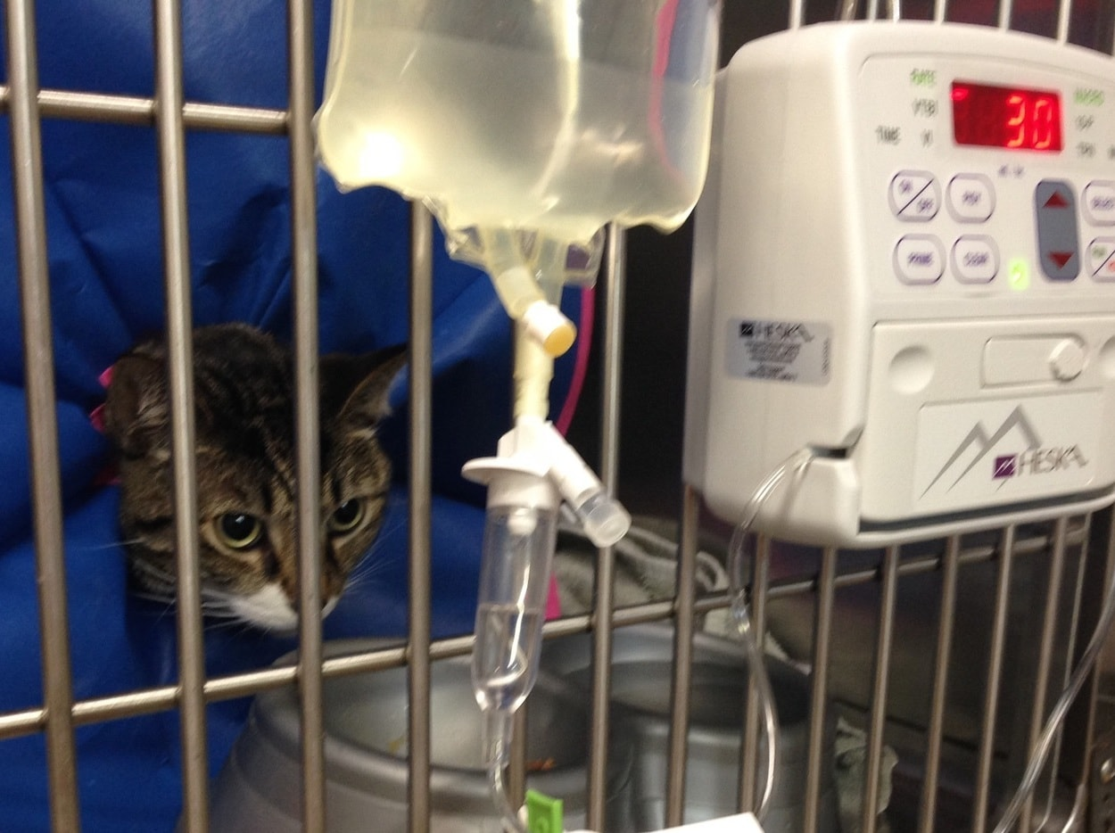 Cat in vet kennel being treated for fatty liver disease