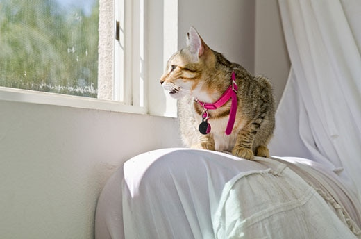 Gray Tabby Cat in pink collar crouching on a covered sofa arm starting out the window.