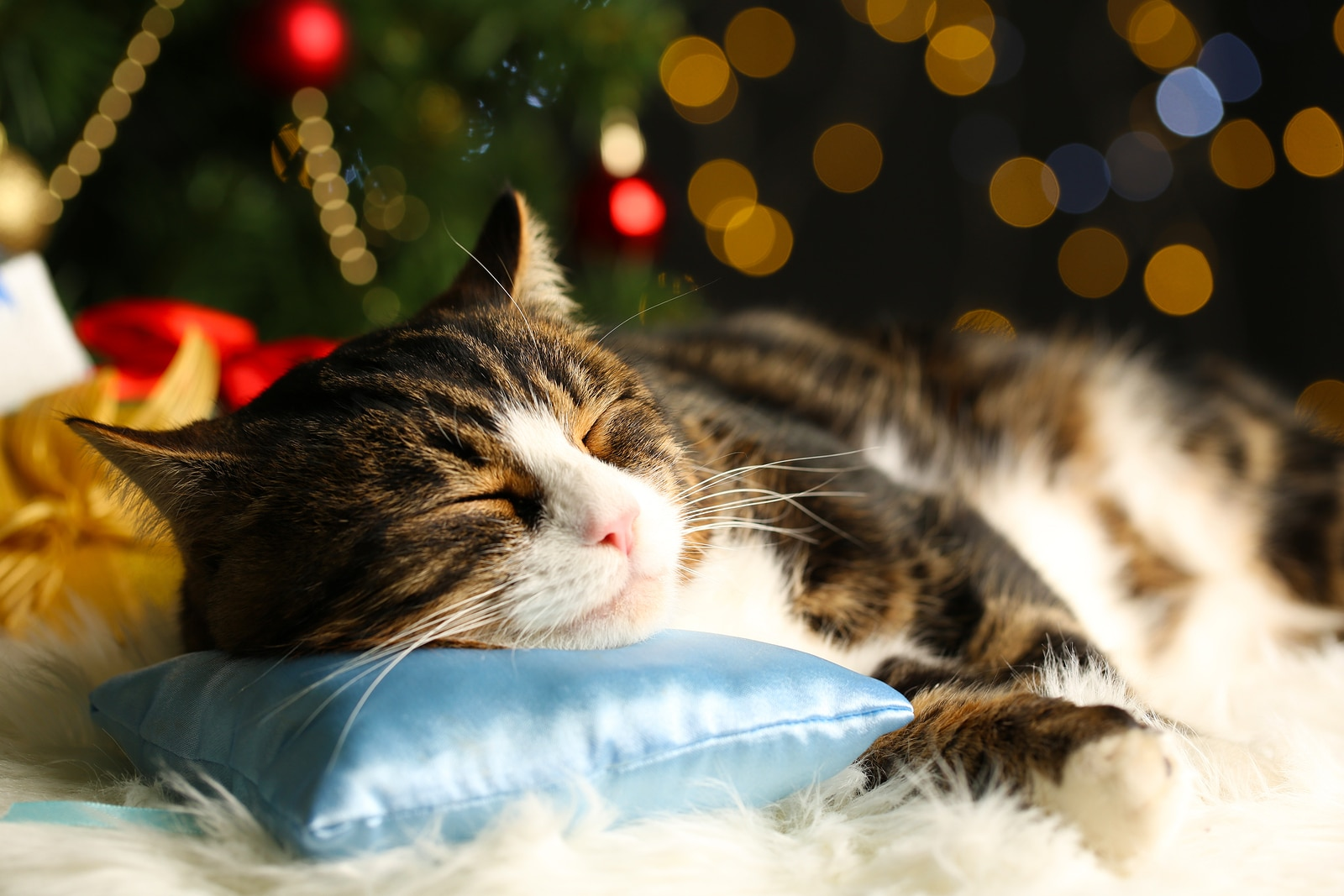 Black and orange cat sleeping with head on blue pillow in front of Christmas décor.