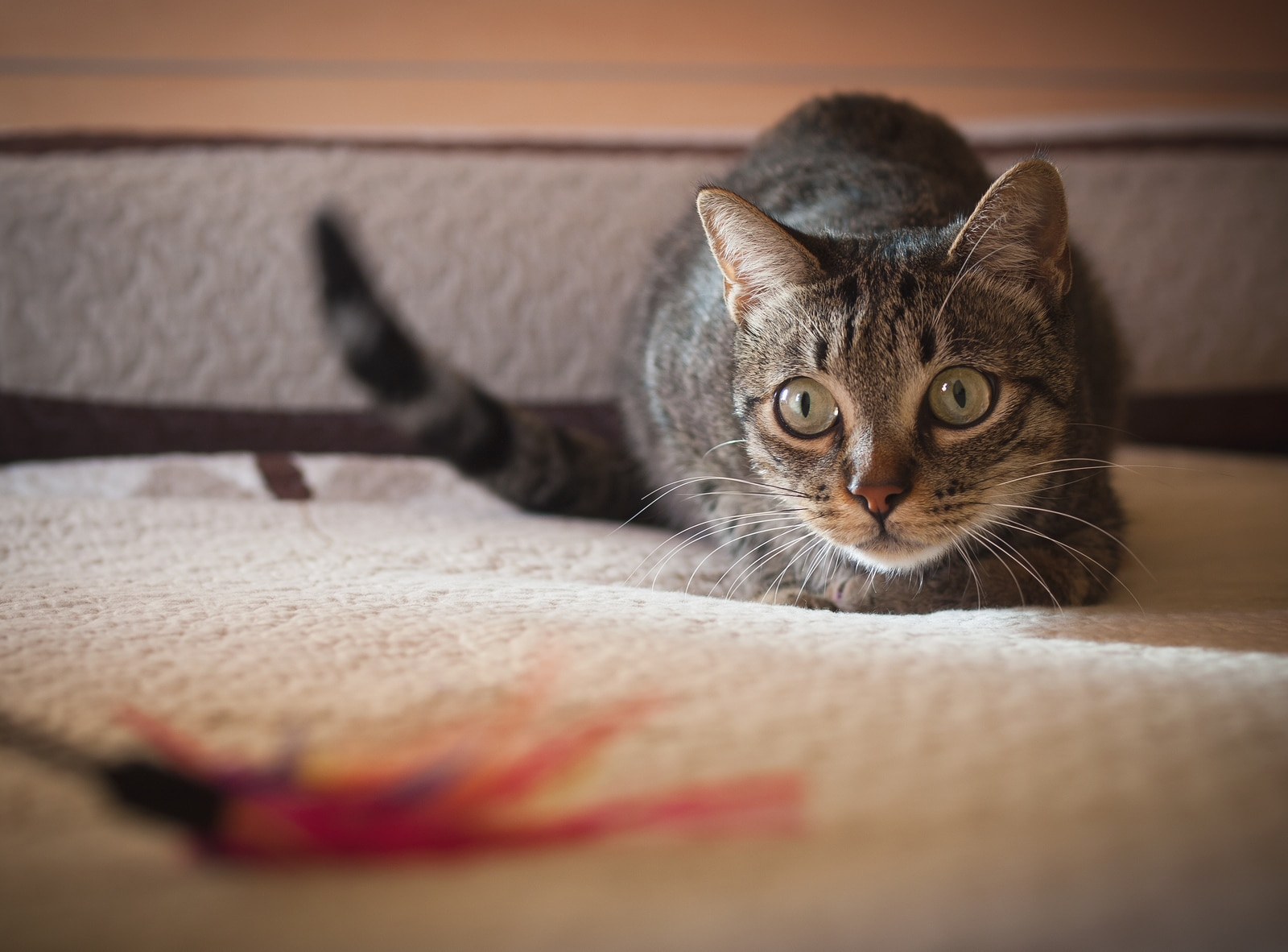 Tabby cat in crouched position about to prance on feather toy.