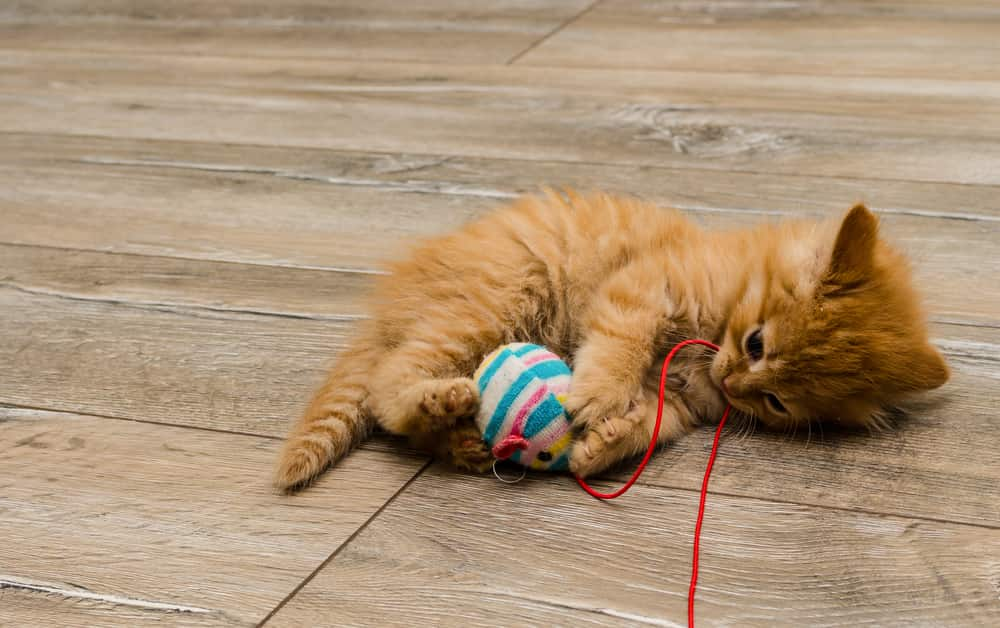 Ginger kitty with blue eyes has paws wrapped around a cat toy.