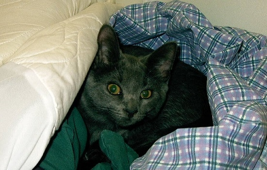 Gray cat with yellow eyes wrapped up in blue plaid bed sheets.