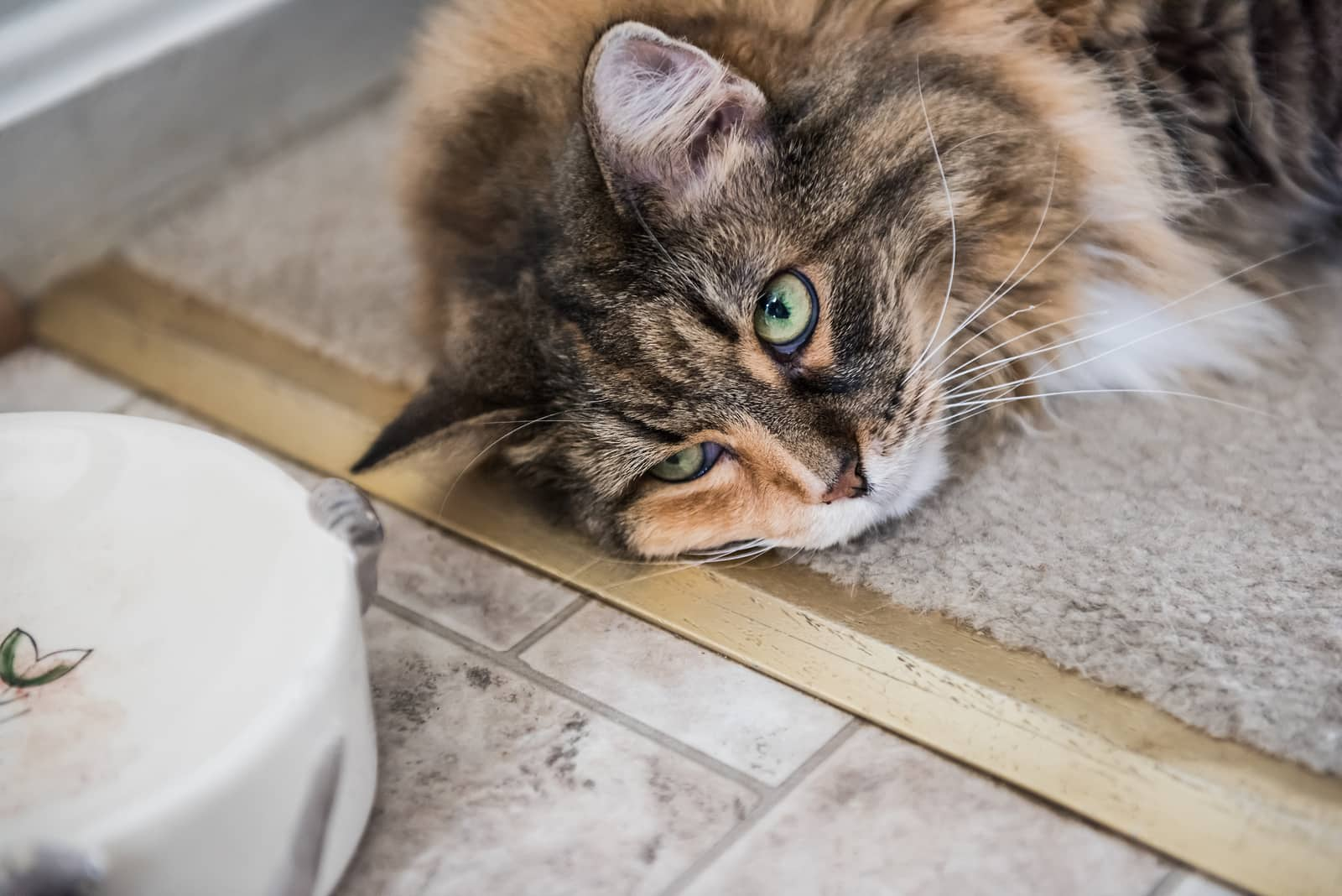 Maine Coon cat flopped on floor beside food bowl