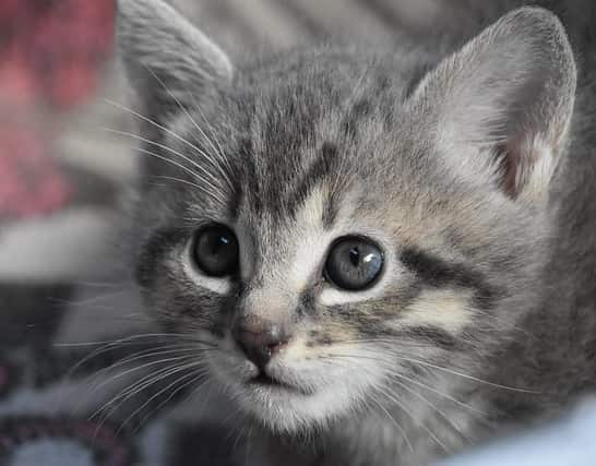 Close-up of striped gray kitten with blue eyes.