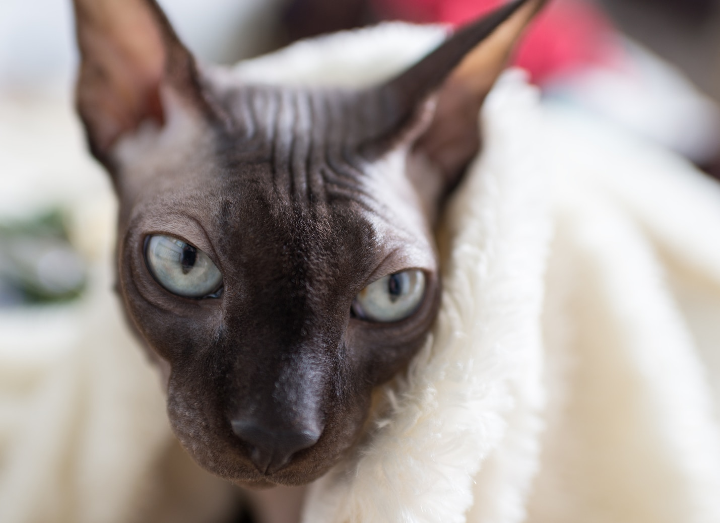 Canadian Sphynx cat is wrapped up in a towel
