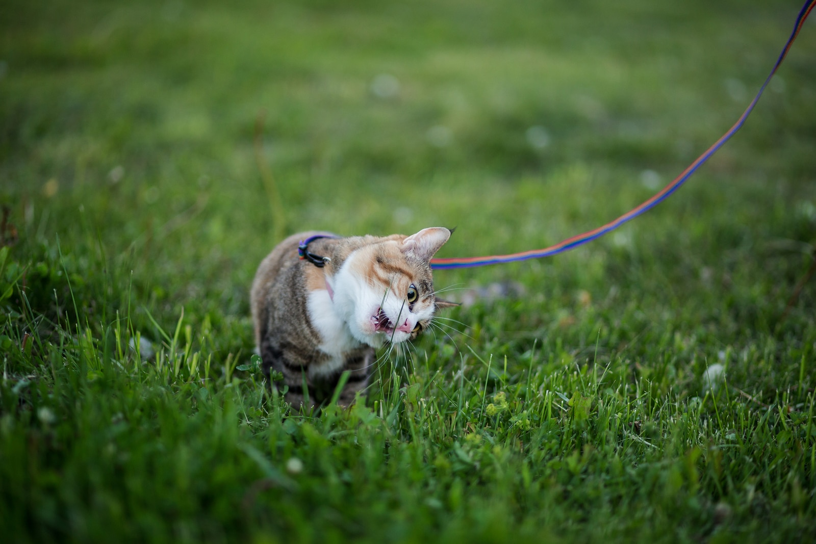 Tabby cat on a purple leash licking a blade of grass.