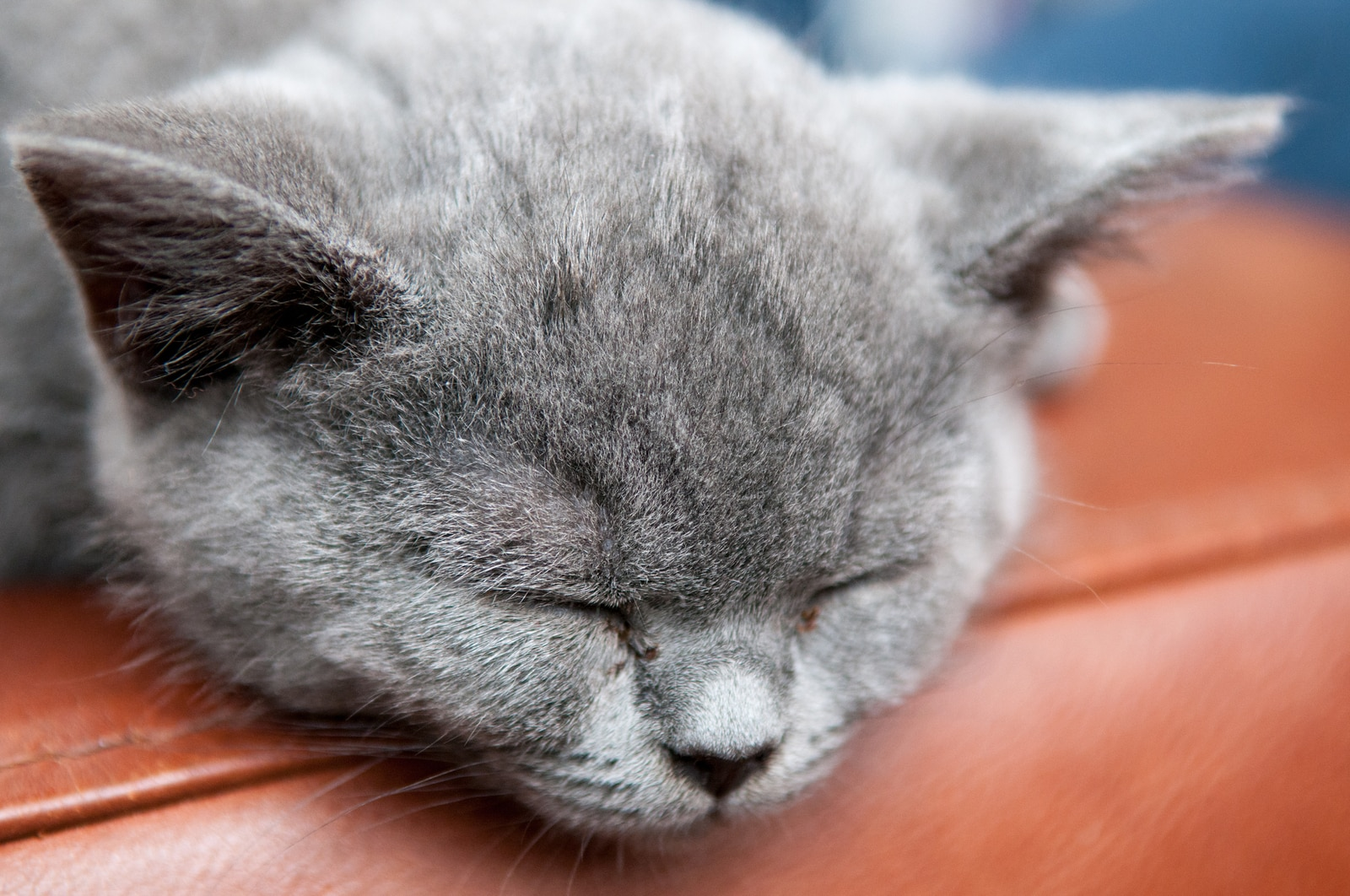 Gray cat sleeping on the edge of a brown leather sofa.