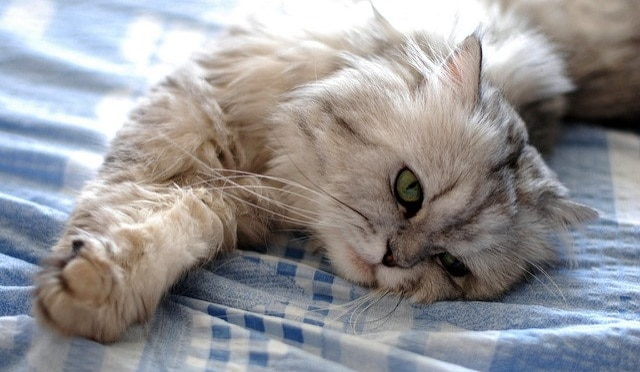 White and gray fluffy cat stretching on a bed.