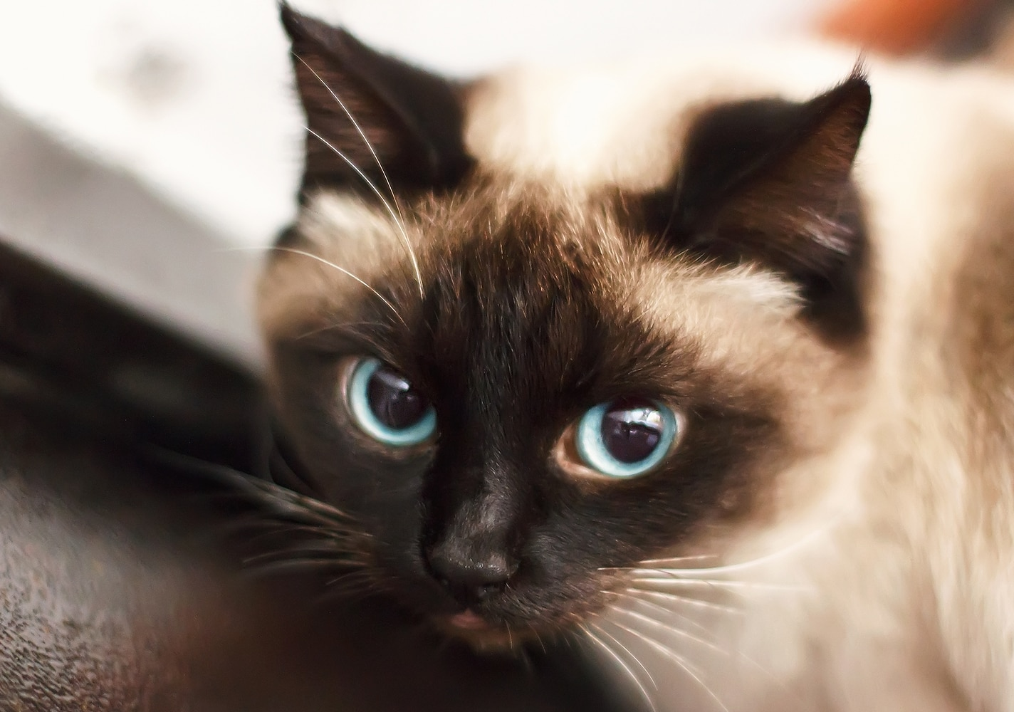 Siamese kitten with blue eyes.