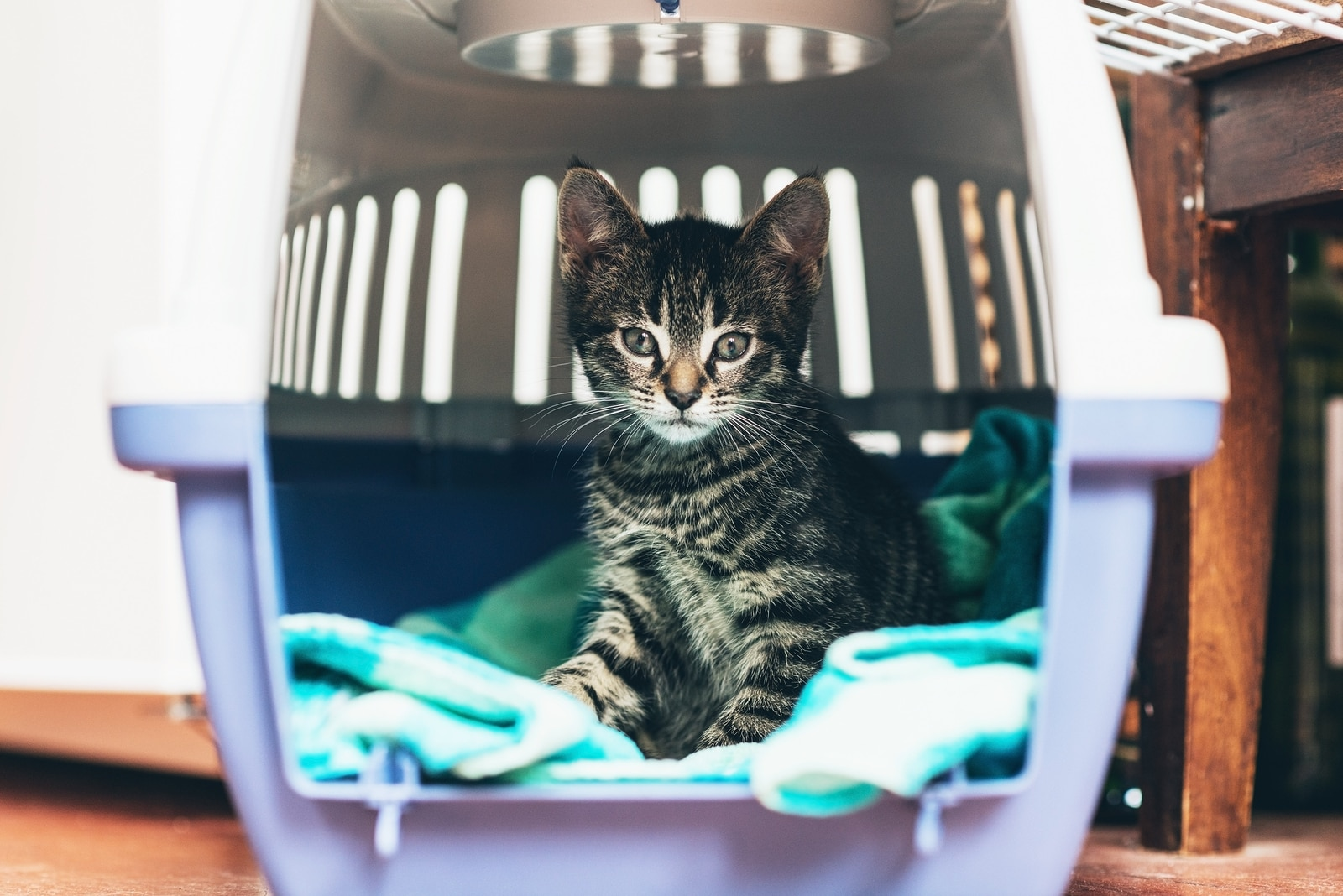 Tabby kitten sitting in a travel crate on a blue blanket staring intently with big blue eyes
