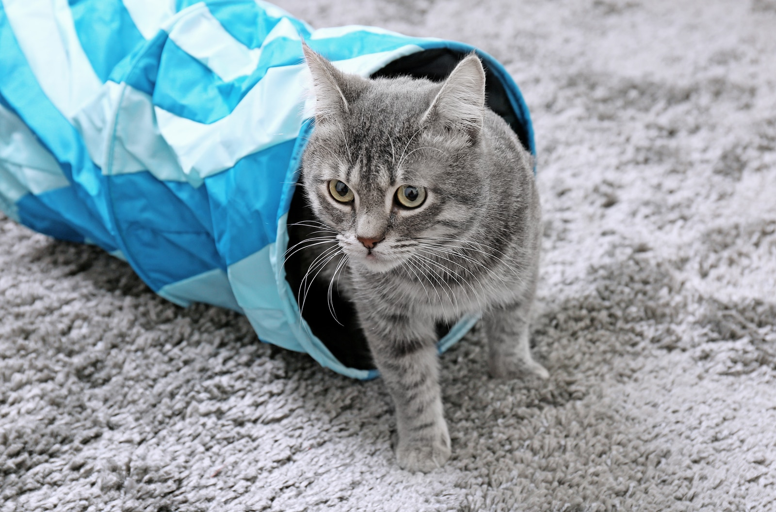 Cat coming out of blue cat tunnel on gray carpet.
