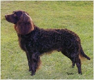 The American Water Spaniel Dog Breed