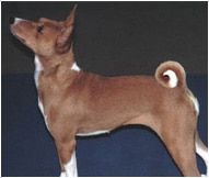 The Basenji Dog Breed