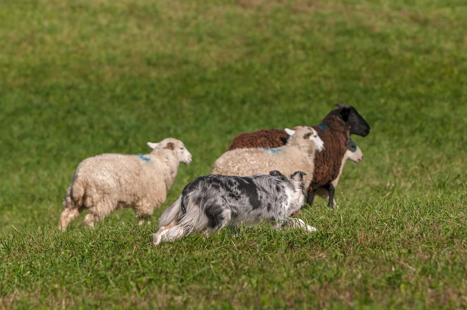 Australian shepherd herding four sheep.