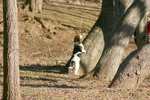 Basset hound looking up at a squirrel in a tree.