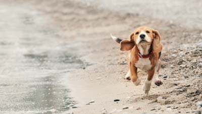 Beagle puppy running on the beach.