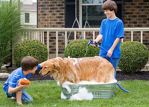 Two boys dressed in blue give a golden retriever a bath outside.