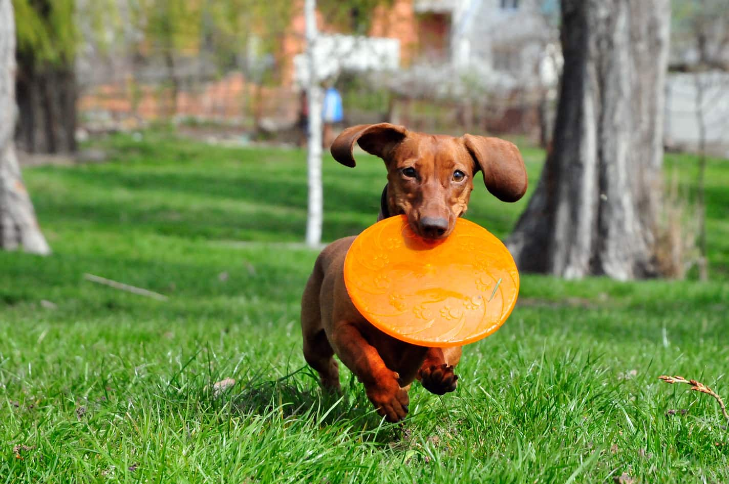 Brown dachshund with orange flying disc in mouth, running in park.