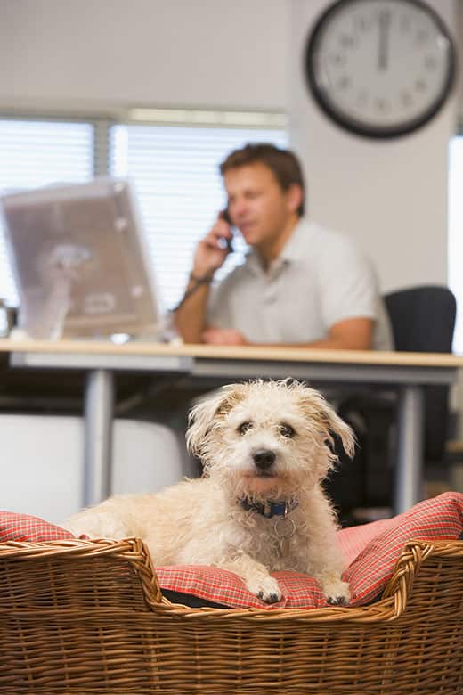 Businessman sat at a desk on the phone with a dog in the foreground in a dog basket