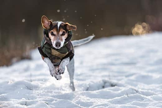 Jack Russell terrier in a winter coat sprints across a filled-filled meadow.