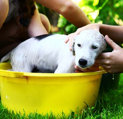 White puppy being washed in a yellow tub outside.