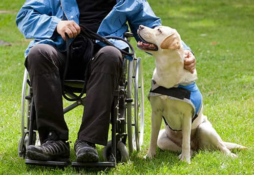 Yellow lab therapy dog sits next to man in wheelchair in park.