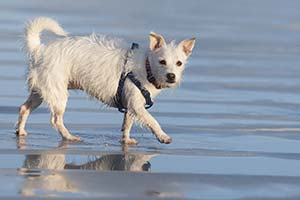 Wet dog running on beach with leash