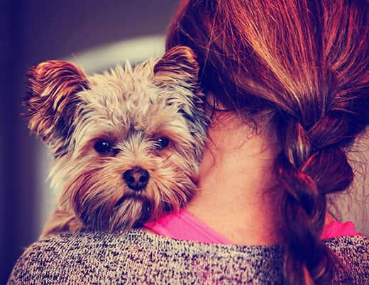 A cute yorkshire terrier peeking from around a woman's shoulder