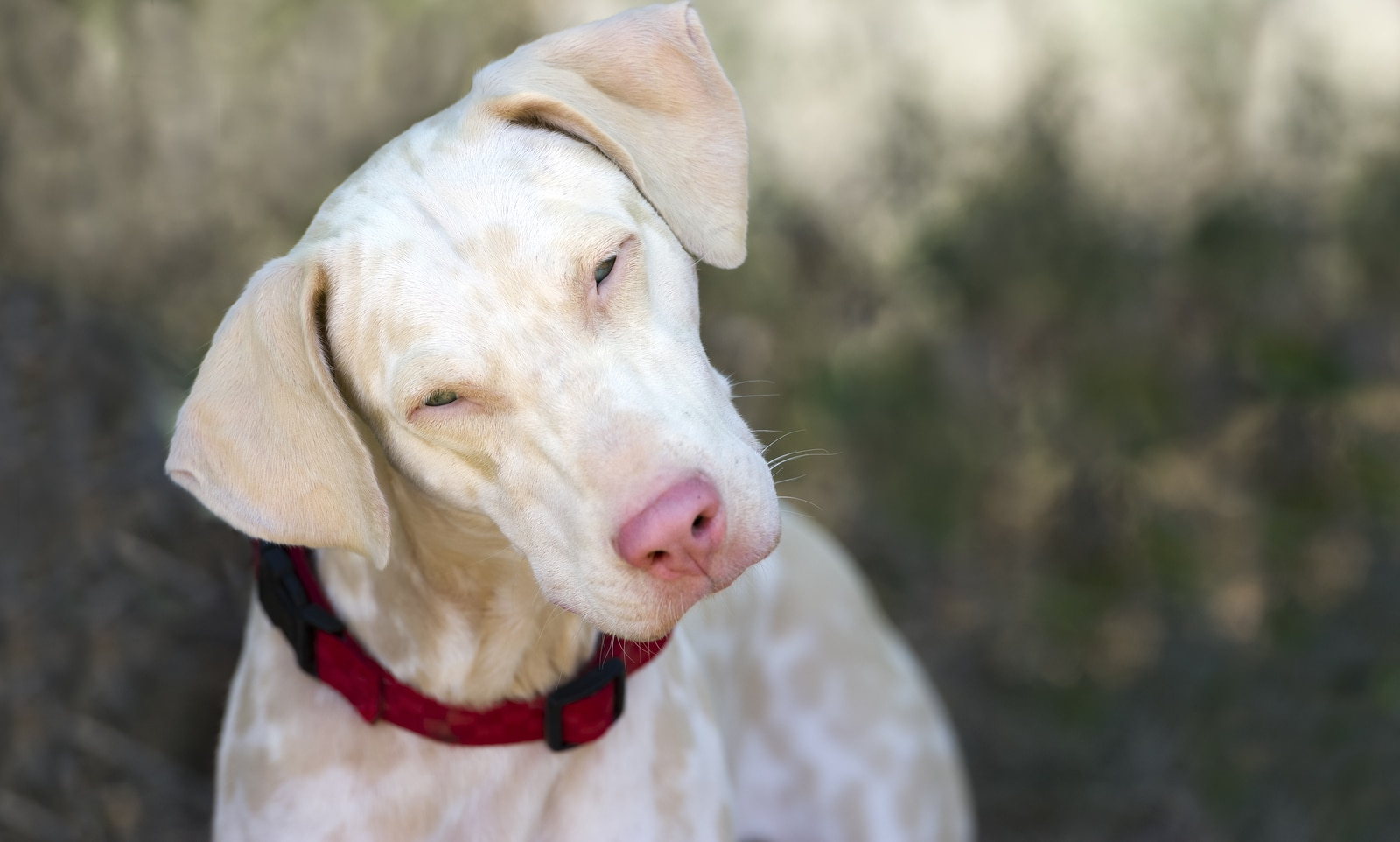 Albino dog has a pink nose and blue eyes and is looking curious straight into the camera.