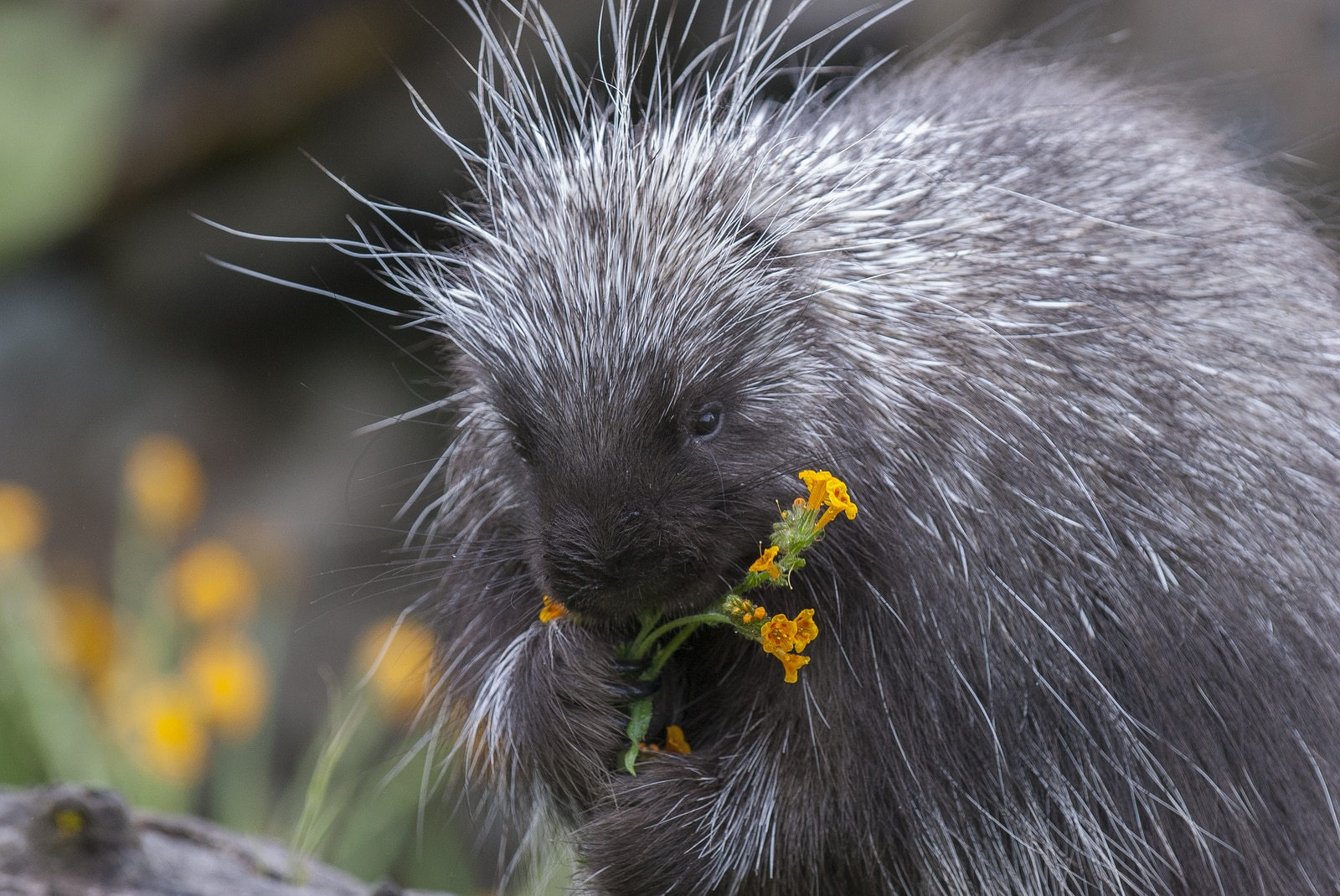 Porcupine on dead log eating flowers and grass