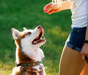 Dog motivational training. Trainer gives the husky dog a reward