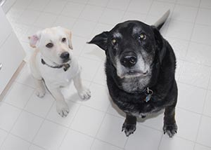 Dog rescue stories: Jasper, a black lab mix, and Liame, a yellow lab.