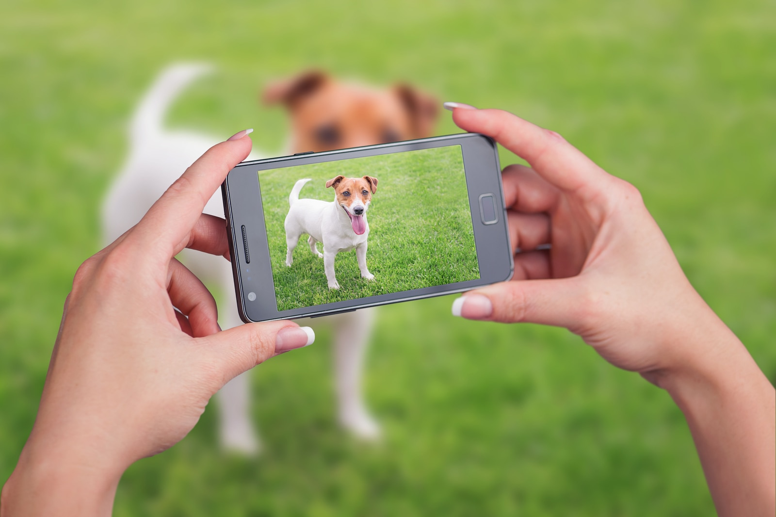 Woman taking a picture of a Jack Russell terrier on green lawn
