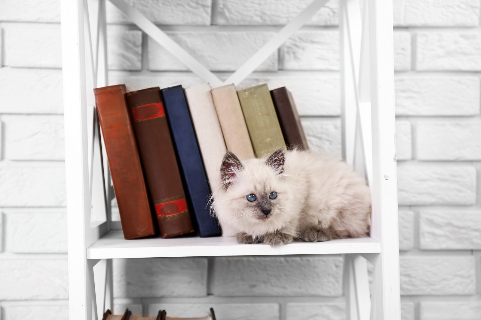 White long-haired kitten on shelf with books on light background
