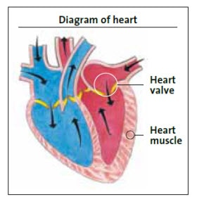 Diagram of heart